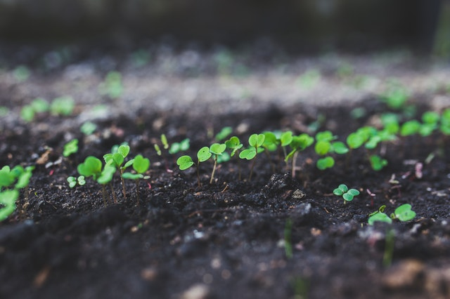 semenáče, mladé rostliny
