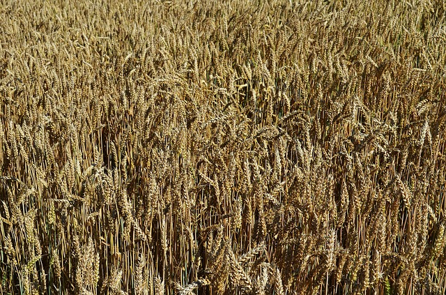 pole pšenice